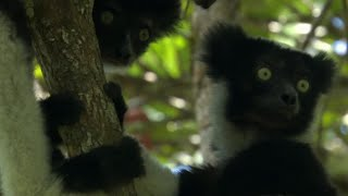 Download Cute Jumping Indri Lemurs   Madagascar   BBC Video