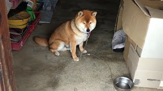 Download おやつの隠し場所に近付かれると挙動不審になる柴犬 Shibe behave suspiciously near the hiding place of dog treats. Video