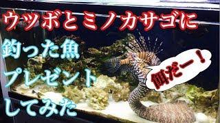 Download 【アクアリウム】釣った魚を、飼育しているミノカサゴとトラウツボにプレゼントしてみた Video