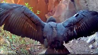 Download Devil's Gate Condor Cam ~ # 871 Showing Off Those Magnificent Wings 9.24.17 Video