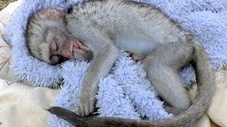 Download Curious George Baby Vervet Monkey Rescue | Rehabilitated & Released | South Africa Primate Troop Video