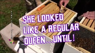 Download It looked like a normal queen right? But then...! Video