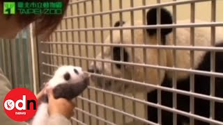 Download Panda cub meets mother in emotional first encounter since birth Video