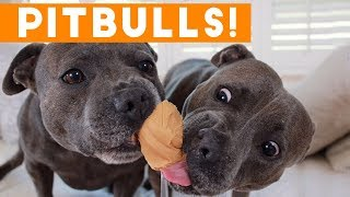 Download Ultimate Pitbull Compilation 2017 | Cutest Funny Pitbull Videos Ever Video