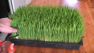 Download How to grow wheatgrass Video