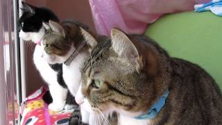 Download Cats Chattering at Bird! Video