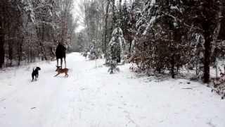 Download Psy atakują łosia w puszczy kampinoskiej Video