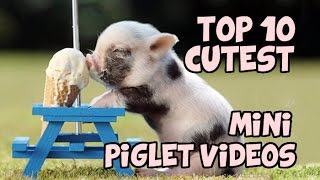Download TOP 10 CUTEST MINIPIG COMPILATION Video