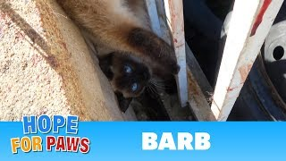 Download Razor wire almost kills a Siamese cat who was hanging upside down by her tail. Video