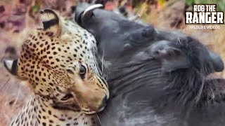 Download Leopard Vs Warthog: Incredible Battle for Survival! Video