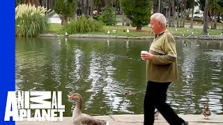 Download Man and Goose: A Love Story Video