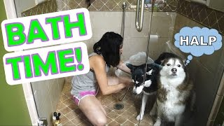 Download SIBERIAN HUSKY | Bath time! Video