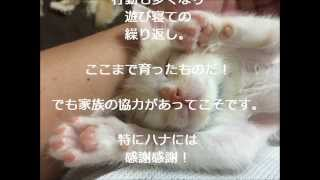 Download Qoo(くぅ) 生後3~5日の子猫から1歳までの記録 Video