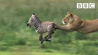 Download Lioness chases Zebra   Nature's Great Events - BBC One Video