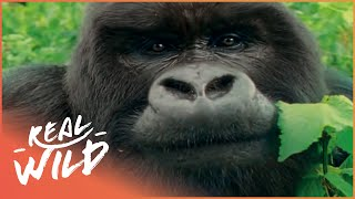 Download Mountain Gorilla: A Shattered Kingdom! | Real Wild Video
