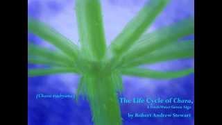 Download The Life Cycle of Chara, a Fresh Water Green Alga Video