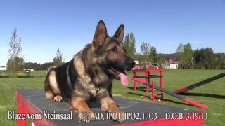 Download Kraftwerk K9 demos obedience and agility with a trained male German Shepherd for sale Video