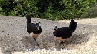 Download Burung Maleo, Maleo bird, Hammerhuhn (Macrocephalon maleo), Sulawesi Video