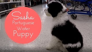 Download Best Puppy Ever!! Sasha PWD - Portuguese Water Dog Video