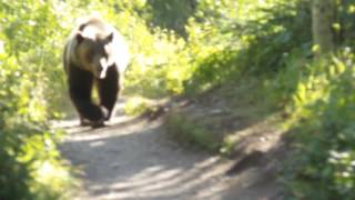Download Grizzly Bear Encounter Aug 2016 Montana Glacier National Park Video