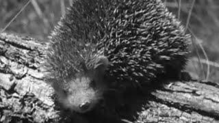 Download Cutest Animal in the World? | #AttenboroughWeek | Zoo Quest to Madagascar | David Attenborough | BBC Video