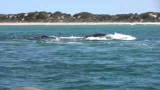 Download Southern Right whale swim and whale sounds 27th aug 11 Video