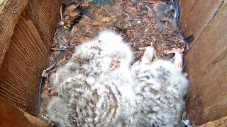 Download Sleepy Barred Owlet Stretches Feet – Apr. 26, 2017 Video