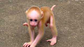 Download Baby monkeys playing at Wuyishan (stump-tailed macaques) Video