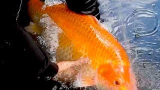 Download Solar Thermal Geothermal large pond heating with giant Koi Fish hot water GreenPowerScience Video