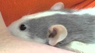 Download Sweet Domestic Rat With Inguinal Abscesses And Possible Pyometra Video