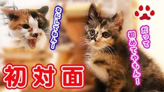 Download 新入り子猫が初めて猫と会ったら大変な事をしてしまった Cute kitten Fuku's first saw the calico cat Bitten the calico nose 【瀬戸のふく Video
