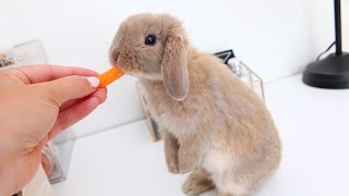 Download Meet Marshmallow My Adorable Holland Lop Bunny Video