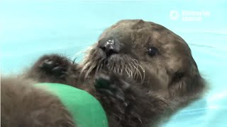 Download Saving Sea Otter 696: Learning to Swim Video