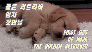 Download 인절미 강아지 리트리버 아기 임자와 첫만남 ! / First meet with retriever puppy Imja (Eng SUB)/ 강아지 유투버 Video