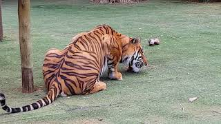 Download What is it like with a tiger in the house? Video
