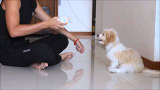 Download Max the Cavapoo Video