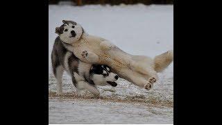 Download 「絶対笑う」最高におもしろ犬,猫,動物のハプニング, 失敗画像集 #84 Video
