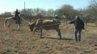 Download rene and captain hook roping cow horse accidents Video