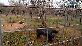 Download Wild Boar Capture in Corral Trap Video
