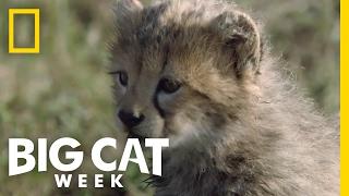Download Cheetah Cubs First Adventure | Big Cat Week Video