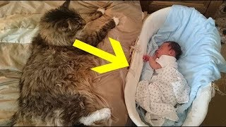 Download 12 Maine Coon Cat Facts So Unreal It's Hard To Believe They're All True Video