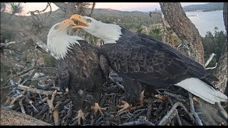 Download Big Bear Eagles ~ Jackie's Lovey Beak Kisses To Shadow, Nips At Tail! Flying Squirrel Visits 11.7.19 Video