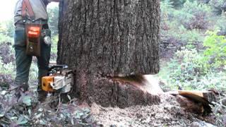 Download falling a bigger sugar pine Video