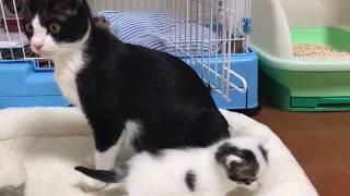 Download 散歩する子猫を見守る心配性の母猫 Video
