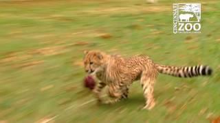 Download Cheetah Cubs Starting to Run - Cincinnati Zoo Video