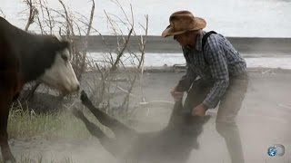 Download Mad Momma Cow | Alaska: The Last Frontier Video