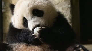 Download Why do we find giant pandas so cute? - Super Cute Animals: Preview - BBC One Video