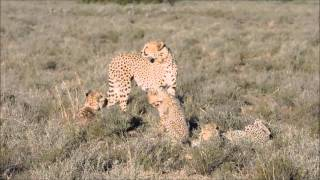 Download Interesting interaction between male Cheetah and a female with her cubs Video
