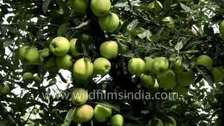 Download Famous Apple orchards of Kashmir in India Video