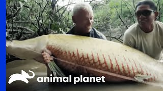 Download Monster Arapaima is Your 'Mermaid' of Lore | River Monsters Video